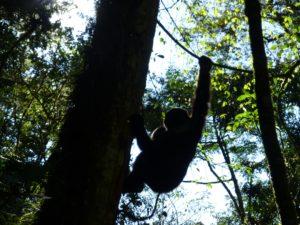 gorilla-an-baum-trekking-uganda-ugandaleaks