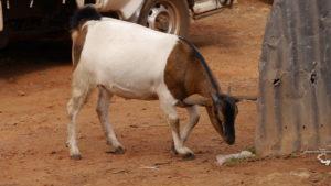 Ziege in Uganda ugandaleaks