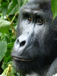 silberruecken-gorilla-trekking-uganda-ugandaleaks