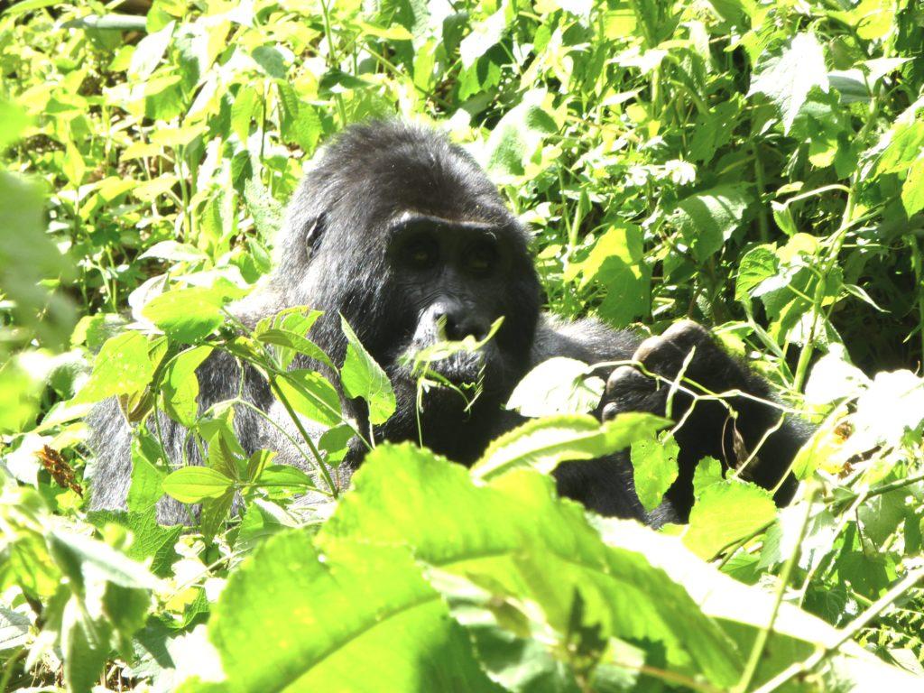 gorilla-berggorilla-silberruecken-uganda-ugandaleaks