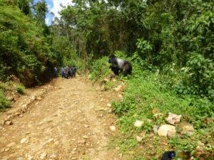 silberruecken-gorilla-trekking-weg-uganda-ugandaleaks